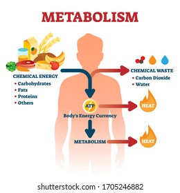 Metabolism vector illustration. Labeled chemical energy educational scheme. Explanation diagram with food carbohydrates, fats and proteins reactions to create ATP and heat. Biological diet infographic