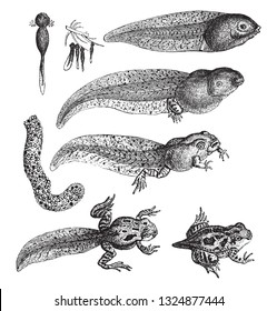 Metamorphoses of the Toad, vintage engraved illustration. Zoology Elements from Paul Gervais.