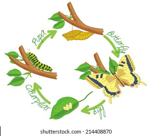 The metamorphosis of the butterfly ( egg, caterpillar, pupa, butterfly ). Life cycle. Vector illustration. Isolated on white background