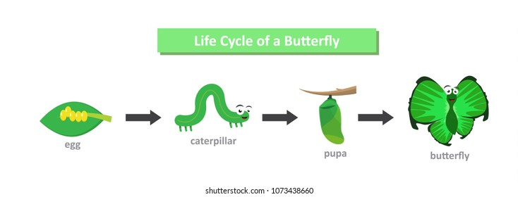 The metamorphosis of the butterfly. (eggs, caterpillar, pupa, butterfly). Metamorphosis. Educational biology for kids. Cartoon vector adorable  illustration in flat style