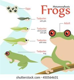 Metamorphosis Life cycle of a frog Vector illustration