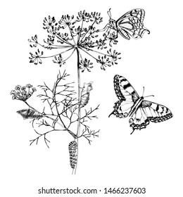 Metamorphosis of the Swallowtail - Papilio machaon - butterfly. Hand drawn vector illustration