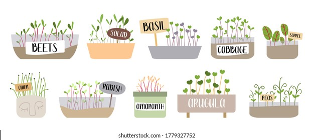 Micro greens. Beet, salad, basil, cabbage, sorrel, onion, radish, amaranth, arugula, pea. Fresh organic sprouted seeds. Healthy nutrition concept. Growing superfood at home. Vector flat illustration.