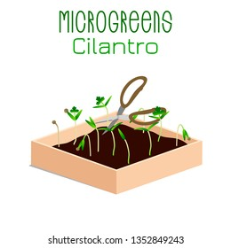 Microgreens Cilantro. Grow microgreen in a box with soil. Cutting the harvest with scissors. Vitamin supplement, vegan food