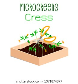 Microgreens Cress. Grow microgreen in a box with soil. Cutting the harvest with scissors. Vitamin supplement, vegan food