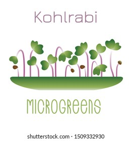 Microgreens Kohlrabi. Sprouts in a bowl. Sprouting seeds of a plant. Vitamin supplement, vegan food