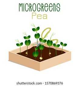 Microgreens Pea. Sprouts in a bowl. Sprouting seeds of a plant. Vitamin supplement, vegan food.