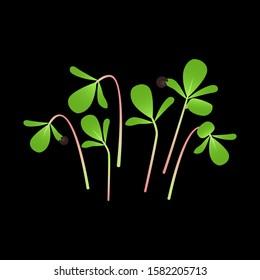 Microgreens Purslane. Bunch of plants. Black background