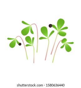 Microgreens Purslane. Bunch of plants. White background