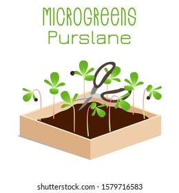 Microgreens Purslane. Sprouts in a bowl. Sprouting seeds of a plant. Vitamin supplement, vegan food.
