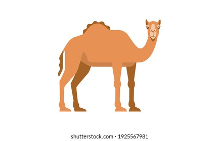 Middle East native animal dromedary camel (Camelus dromedarius) side angle view, flat style vector illustration isolated on white background