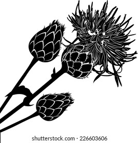 milk thistle flowers isolated on white background