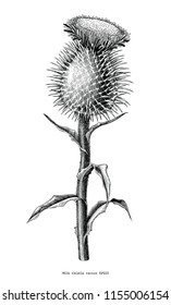 Milk thistle plant botanical hand draw vintage clip art isolated on white background