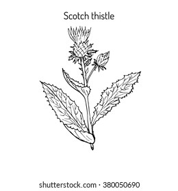 Milk Thistle (Silybum marianum), medicinal plant. Hand drawn botanical vector illustration