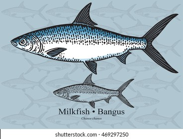 Milkfish, Bangus. Vector illustration with refined details and optimized stroke that allows the image to be used in small sizes (in packaging design, decoration, educational graphics, etc.)