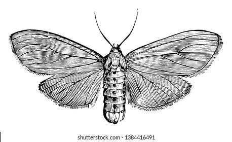 Milkweed Tiger Moth is an insect in the Arctiidae family of tiger moths, vintage line drawing or engraving illustration.