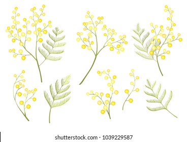 Mimosa flower spring set isolated on white