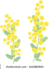 Mimosa flower vector illustration on white background