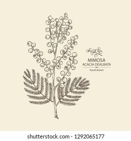 Mimosa: mimosa flowering branch and leaves. Acacia dealbata. Cosmetic, perfumery and medical plant. Vector hand drawn illustration