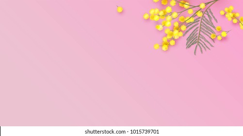 Mimosa flowers on pink background. Vector illustration