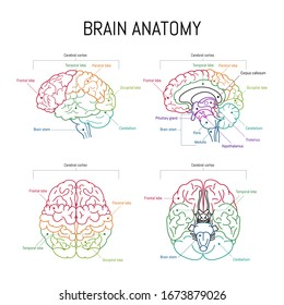 Minimal neuroscience infographic on white. Human brain lobes and functions illustration. Brain anatomy  structure sections. Futuristic  neurobiology scientific medical vector.