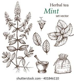 Mint , botanical drawing. Herbal tea  set. Hand drawn.  Medicinal plant.