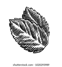 Mint. Hand drawn engraving style vector illustration.