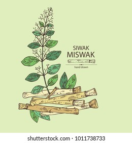 Miswak, siwak: natural toothbrush, plant, branch and leaves. Vector hand drawn illustration.