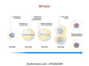 mitosis. cell division stages from Interphase, Prophase, and Prometaphase to Metaphase, Anaphase, and Telophase. Process of multiplication. Vector illustration