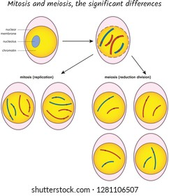 Mitosis and meiosis, the significant differences