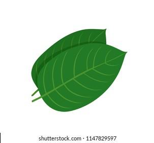 Mitragyna speciosa, kratom leaf. Vector flat illustration icon design. Isolated on white background. Kratom plant drug concept