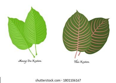Mitragyna speciosa or Maeng Da Kratom and thai kratom leaves on white background