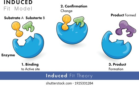 model of enzyme activity: induced Fir model of catalytic action with substrate and product
