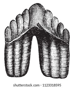 Molar Zeuglodon, cetacean, vintage engraved illustration. Magasin Pittoresque 1858.