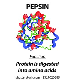 The molecular structural chemical formula of pepsin. Functions of the digestive tract enzyme pepsin. Turns proteins into amino acids. Infographics. Vector illustration on isolated background.