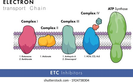 molecular structure of electron transport chain in white background with membrane in with all Complexes and ATP synthase vector graphic design
