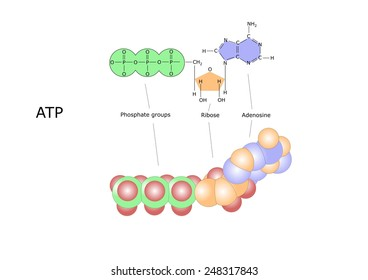 the molecule of ATP, adenosine triphosphate, the human energy source
