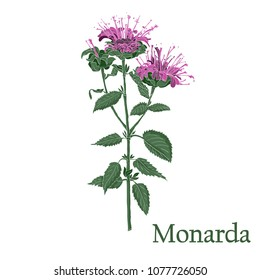 Monarda, Bee Balm. Illustration of a plant in a vector with flower for use in botany.