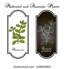Money tree or jade plant (Crassula portulacea), medicinal plant. Hand drawn botanical vector illustration