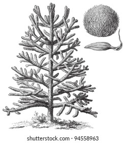 Monkey-puzzle Tree (Araucaria araucana) / vintage illustration from Meyers Konversations-Lexikon 1897