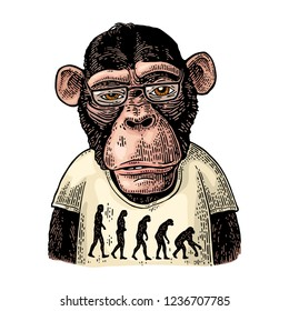 Monkeys dressed in a T-shirt with the theory of evolution human on the contrary. Vintage color engraving illustration for poster. Isolated on white background. Hand drawn design element