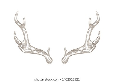 Monochrome drawing of deer, stag or hart antlers isolated on white background. Part of forest animal's body. Elegant hand drawn realistic vector illustration in vintage engraving style for logotype.