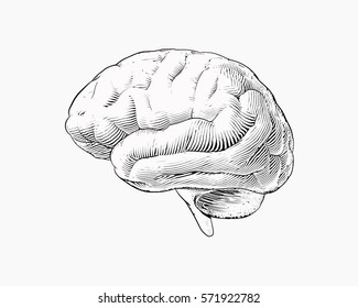 Monochrome engraving brain illustration in side view or lateral view isolated on white background