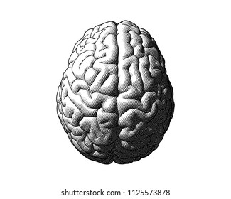 Monochrome engraving drawing brain in top view isolated on white background in striped line style