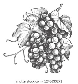 Monochrome Illustration grape bunches and leaves isolated on white background. Vector Sketch hand drawn grapes Graphics
