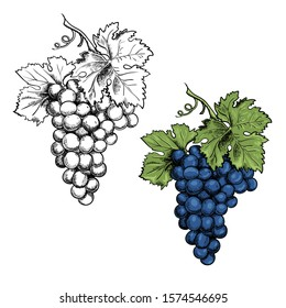 Monochrome Illustration grape bunches and leaves isolated on white background. Colored blue grapes. Vector Sketch hand drawn. Graphics. Black and white