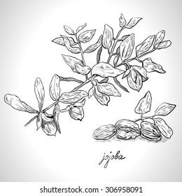 Monochrome image of jojoba plants