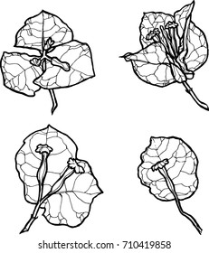 Monochrome vector set of Bougainvillea flower. Set of vector silhouettes of hand drawn bougainvillea flowers isolated on white background. Hand drawing flowers on white background.