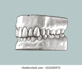 Monochrome vintage engraving drawing tooth and gum close jaw perspective side view represent for dental occlusion illustration isolated on gray background