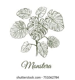 Monstera plant skech. Monstera hand drawing. Araceae vector illustration Monstera